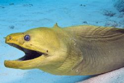 Smiling green moray, Cayman Islands. Photo taken with Fuj... by Stuart Spechler 